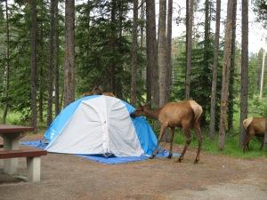 Elk licking a tent.